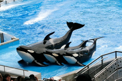 Three of the orcas demonstrate a trick near the end of the show. This trick is actually meant to show how killer whales can jump on on ice edges to catch their prey.